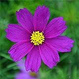 Yumhouse Semillas de Flores para Jardin,Cosmos Plant seeds-100 Capsules_Purple,Semillas de Flores Exterior trepadoras
