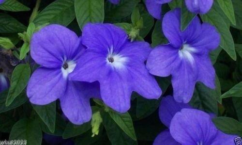 100 semillas - Browallia Flores Semillas (Browallia Americana) azul cielo, hace que una gran planta de la casa.