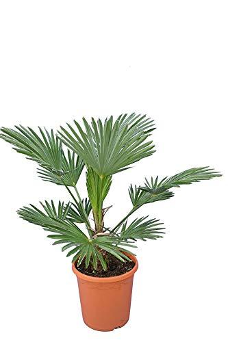 Trachycarpus wagnerianus, Hanfpalme, Palme, Winterhart - Gesamthöhe 90-110cm Stamm 15-25cm - Topf Ø 26 cm