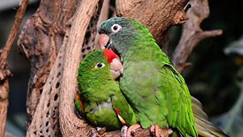 YINGXINXWM Malen Nach Zahlen Kits Für Erwachsene Kreative Home Haus Dekor Amazonas Papageien Papageien Paartier Vorgedruckt Leinwand Weihnachten Geschenke 40X50Cm (Rahmenlose)