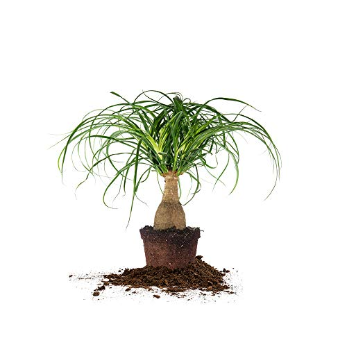 Perfect Plants Ponytail Palm | Beaucarnea Recurvata | 10in Tall | Easy Care Houseplant | Perfect for Bright Light Conditions, 6 in Grower's Pot, | Air Purifying