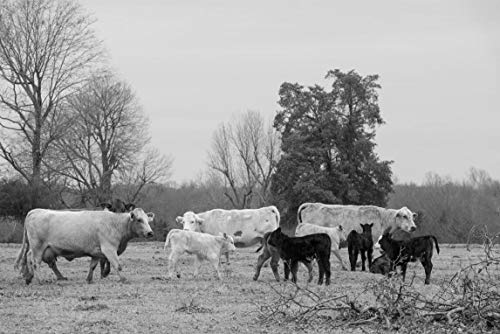 18 x 24 Black & White Canvas Wrapped Print of Cattle on a Ranch in Red River County Near Detroit Texas y55 2014 Highsmith