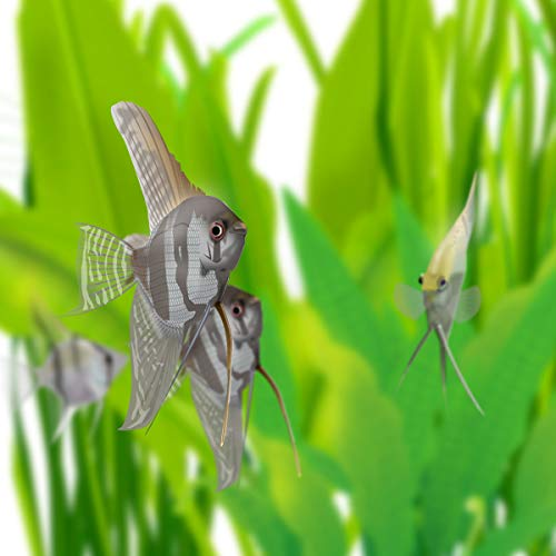 (熱帯魚 生体)外国産ミックスエンゼルフィッシュ M(約4-6cm)(3匹)[生体]