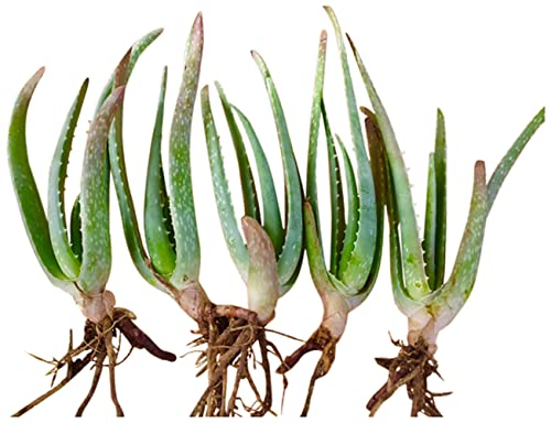 """RAGARDEN Aloe Vera Bare-Rooted Plants , Five (5) in Package, Size 4""""x 8'..."""