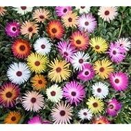 Just Seed Flower Mesembryanthemum Harlequin