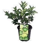 "AchmadAnam - 8"" Pot - Everbearing Persian Lime Tree - Plant,Tree,Bulb"
