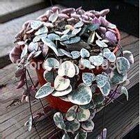 Vistaric 20 PCS Ceropegia woodii graines Fleurs graines Monde Rare Flower Garden Accueil livraison gratuite