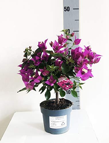Bougainvillea Sabina Vaso 13 (40cm, Viola)