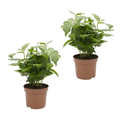 Dominik Blumen und Pflanzen, Kaffee - Pflanze, Coffea arabica, 2 Pflanzen, 12 cm Topf, 20 - 30 cm hoch, Zimmerpflanzen, Kübelpflanzen