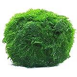 Decoración del Acuario Mini Planta de Alga Marina Planta de Acuario en Vivo Tanque de Peces Camarón Nano para Bolas de Musgo Ornamento del Tanque de Peces Acuario