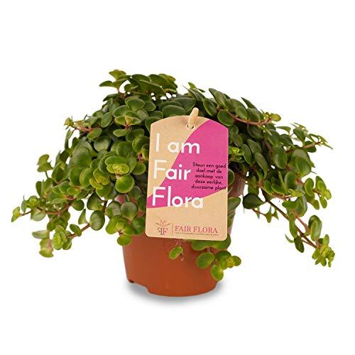 Zimmerpflanze – Fetthenne – Höhe: 17 cm
