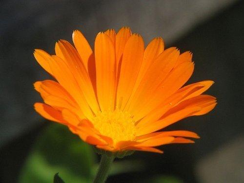 Pinkdose Seedville Calendula Officinalis English Marigold Flowers - 100 Seeds