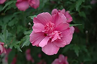 Best hibiscus syriacus lucy rose of sharon Reviews