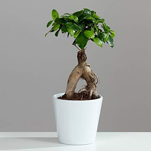 Planta de interior de Ginseng Ficus por Gardening Direct (maceta de cerámica)