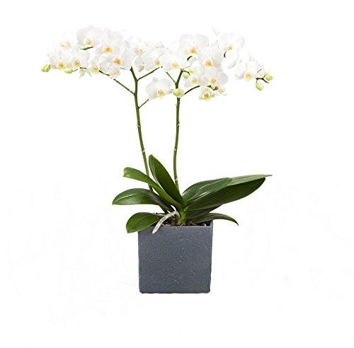 Dominik Blumen und Pflanzen, Zimmerpflanzen Orchidee, Phalaenopsis, weiß blühend, 2 triebig 1 Pflanze und 1 Scheurich Übertopf, anthrazit / stone / weiß