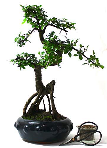 Tronco de olmo chino Bonsai S estilo Neagari (raíz expuesta)