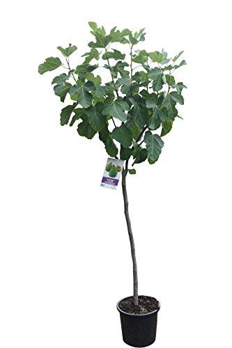 Ficus carica, essbare Feige, Höhe: 180 cm, frosthart, feigenbaum