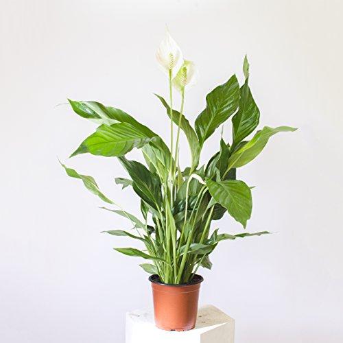 Spathiphyllum/Friedenslilie - 60 cm +/- Scheidenblatt, Blattfahne, Einblatt, tropische zimmerpflanze, Aronstabgewächse (Araceae), raumluftreinigend, dekorativ, edel, effektiver Frischluftfilter