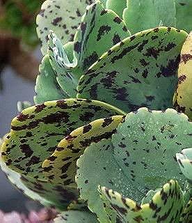 KALANCHOE MARMORATA Zebra Rare Plant Beautiful RED Flower Succulent Cactus