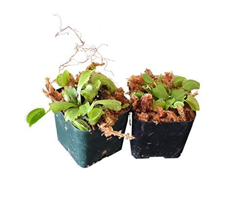9GreenBox - Venus Flytrap - Fly Trap - (Dionaea Muscipula) Carnivorous Plant - 2 Pack