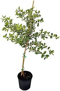 PlantVine Malpighia glabra, Barbados Cherry - Large, Tree - 8-10 Inch Pot (3 Gallon), Live Plant