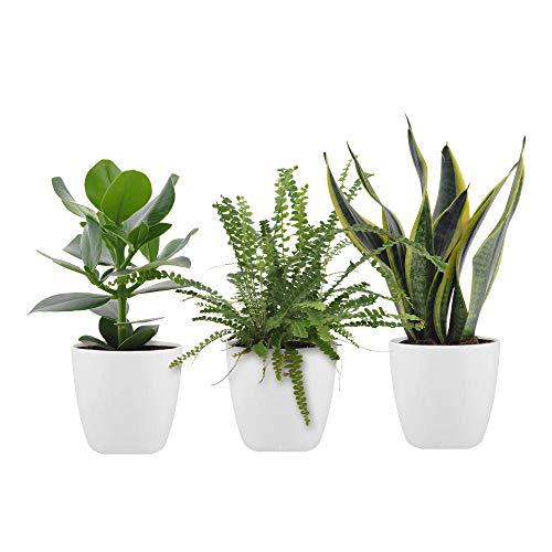 3x Mix Trendige Pflanzen für das Schlafzimmer | Clusia rosea, Nephrolepis, Sansevieria trifasciata | Grüne Zimmerpflanzen | Höhe 20-40cm | Inkl. Topf ELHO weiß Ø 14cm