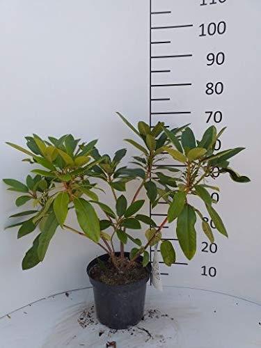 Rhododendron Gewicht