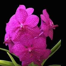 princess mikasa orchid