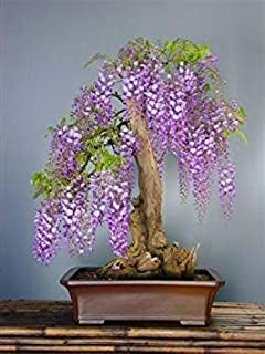 HIGH Germination Seeds ONLY NOT Plants: Tropica - Seed Wisteria (Bolusanthus speciosus) - 25 Seeds - Bonsai