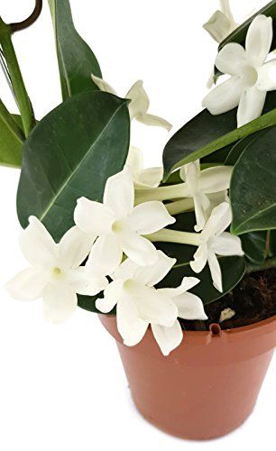 Stephanotis floribunda - Kranzschlinge - duftende Rankpflanze am Spalier - immergrüner Kletterstrauch aus Madagaskar - pflegeleichte Zimmerpflanze