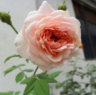 100 pcs/lot en rotin rose, rose grimper rotin, Hardy Arbuste graines bonsaï plante jardin Livraison gratuite 12