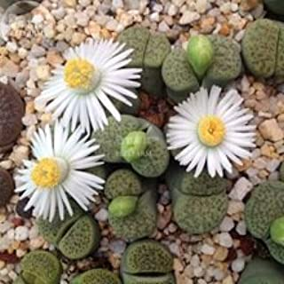 RARE LITHOPS LESLIEI V ALBINICA @@ living stone rock cactus cacti seed -15 SEEDS
