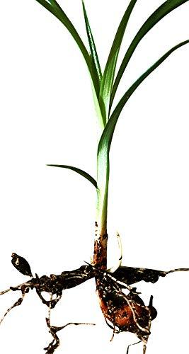 110 Samen/Knollen Erdmandel -Cyperus esculentus- Hohe Keimfähigkeit ***Leckere Tigernüsse selber züchten***