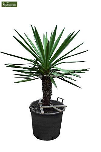 Winterharte Faxon Yucca - Yucca faxoniana - verschiedene Größen (Stamm 60-70cm - Topf Ø 55cm)