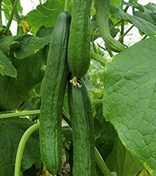 SANHOC Graines Paquet: « Max » - pour culttion sous Couvert -Variété graines pour everyoneSEED