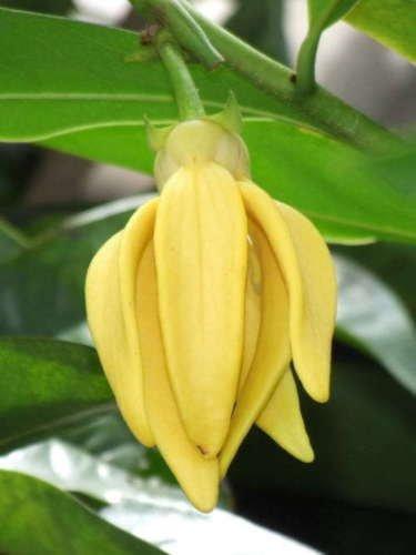 Artabotrys siamensis, Climbing Ylang-Ylang 10 Seeds,
