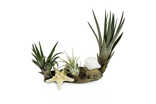 Air plants in a driftwood