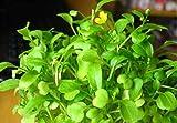 Semillas de plantas de hierba de acuario de hierba de amor, hierba de agua de alfombra de hoja acuática, semillas de plantas de estanque vivo, decoración de hierba