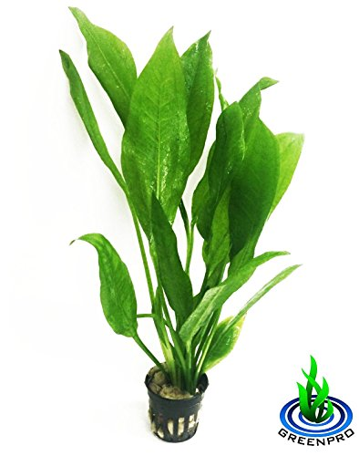 Greenpro Echinodorus Bleheri | Amazon Sword Paniculatus Potted Live Aquarium Plants for Aquatic Freshwater Fish Tank