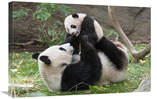 Global Gallery Panda Gigante Madre y Cachorro Jugando, Nativo de China-Lienzo, 76,2...