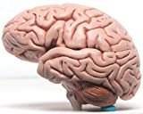 Human Brain Model Best Quality Extremely helpful for medical professionals for patient demonstrations and for a student to study this model with detailed key card Can be used for study or Decoration in labs etc. Great for a school teaching tool, lear...