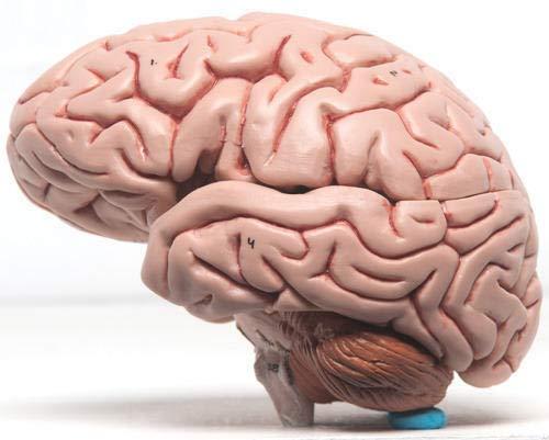 MV Educational Human Brain Model Biology Medical Study, Teacher's Learning and School Lab Material