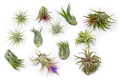 12 Pack Assorted Ionantha Air Plants - Wholesale - Bulk - Live Tillandsia - Easy Care House Plants - Succulents - 30 Day Guarantee
