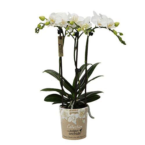 "Phalaenopsis""White"" | Schmetterlingsorchidee | Weiße Blüte | Höhe 35-40 cm | Topf-Ø 9 cm"