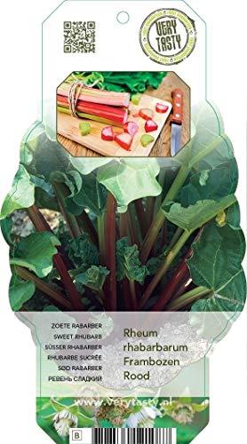 Rhabarber (Rheum rhabarbarum), im ca. 12cm Topf, ca. 30cm hoch, kräftige zweijährige Pflanzen (3 Pflanze je im 12cm Topf, Frambozen Rood (Himbeer Rhabarber))