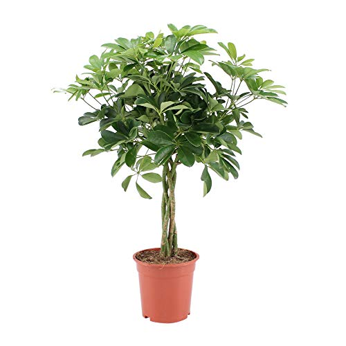Plante d'intérieur de Botanicly – Arbre ombrelle – Hauteur: 80 cm – Schefflera arb. Nora