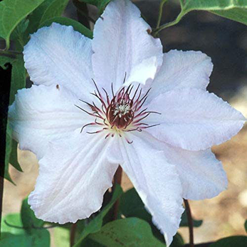 Clematis 'Snow Queen' - Waldrebe 50-60 cm Pflanzcontainer