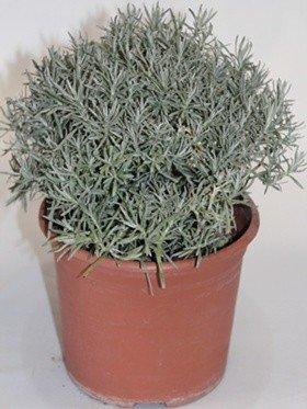 Curry o Flor de San Juan (Maceta 19 cm Ø) - Planta Viva - Planta aromatica