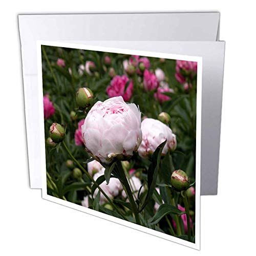 3dRose Pale Pink and Hot Pink Peonies - Greeting Cards, 6 x 6 inches, set of 12 (gc_22421_2)