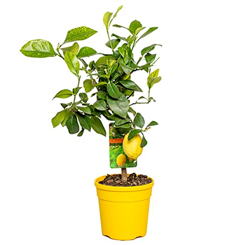 Zitronenbaum   Citrus 'Lemon' -...